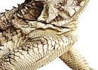 """Genus PHRYNOSOMA; Family PHRYNOSOMATIDAE Grandpas called them """"horny toads."""""""