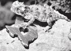 Texas Horned Lizard Hatchling Release Marks Milestone to Save State Reptile