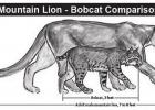 Is it a Mountain Lion or a Bobcat?